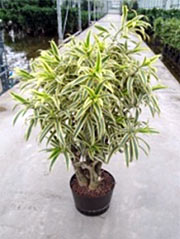 Drachenbaum Dracaena reflexa ´Song of India´